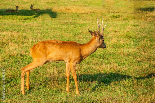 Young fawn on the green lawn плакат