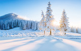 Colorful winter panorama in the Carpathian mountains. Fir trees covered fresh snow at frosty morning glowing first sunlight - 180566165