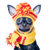 Funny dog ​​in a knitted cap and scarf, portrait of a macro isolated.