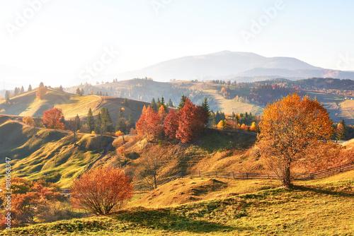 Aluminium Herfst birch forest in sunny afternoon while autumn season. Autumn Landscape. Ukraine.