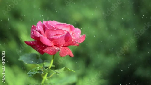 Red rose under the drops