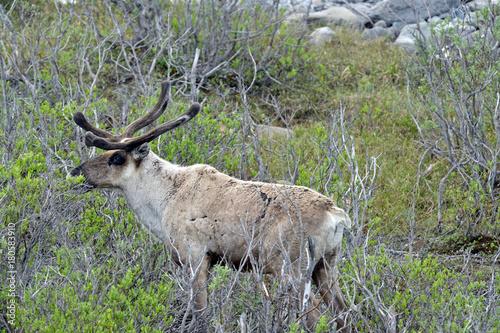 Fotobehang Hert Alaska caribou
