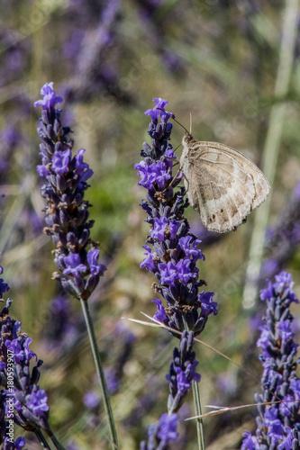 Tuinposter Lavendel Papillon
