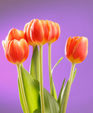 Red tulips on lilac background