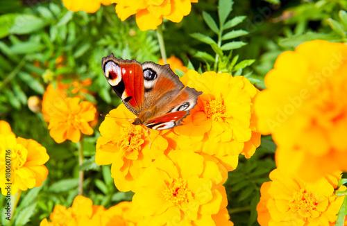 Plexiglas Pauw Butterfly