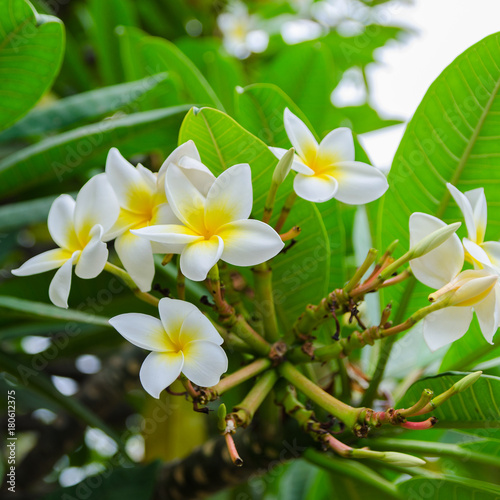Fotobehang Plumeria Beautiful Frangipani or Plumeria blooming in garden of Tenerife, Canary island, Spain. Floral vibrant background for wallpaper or web design. Exotic apocynaceae flower image.