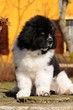 Purebred newfoundland dog puppy