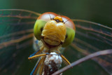 Dragonfly in nature, close up photography, portrait of dragonfly  - 180618941