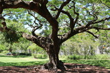 Fototapety Orchids are growing up a Delonix regia in summer, Queensland Australia