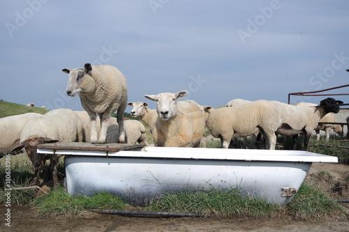 Fotobehang Noordzee Schafe an der Nordseeküste