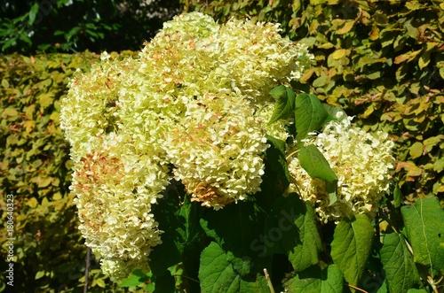 Fotobehang Hydrangea Hortensien Rispenhortensien im Herbst verblühen