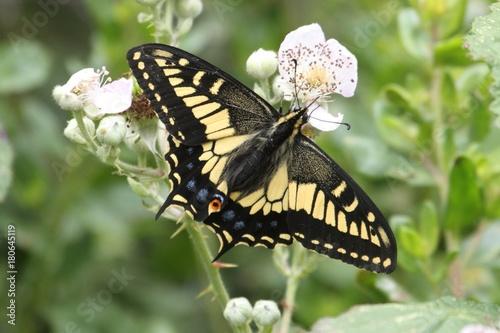 Aluminium Vlinder Oregon Swallowtail Butterfly (Papilio oregonius)
