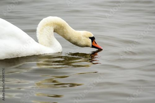 Fotobehang Zwaan beautiful white swan drinking water