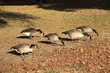 Canada geese eating on the grass area