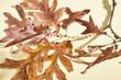 Oak Leaves in fall color