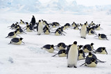 The colony of Imperial penguins stands in the snow near the Iceberg. Shooting from the air. Sunny day. Antarctic. - 180671786