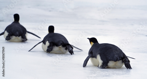 Fotobehang Antarctica Emperor penguin chick. Close-up. Antarctic