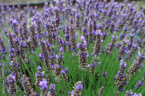 Fotobehang Lavendel Dives sur Mer, village de Guillaume le Conquérant