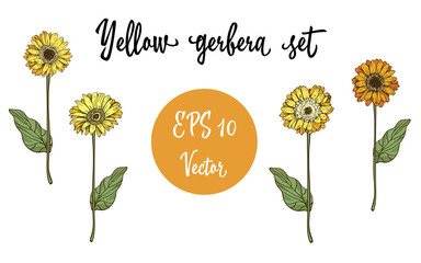 Vector set of Gerbera daisy yellow flowers and green leaves on white background