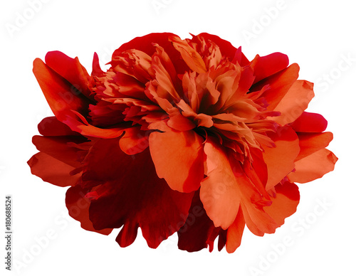 Fotobehang Baksteen Peony flower red on isolated white background with clipping path no shadows. Close-up. For design. Nature.