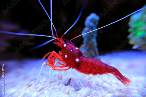 Plakat Red Fire Shrimp - Lysmata Debelius