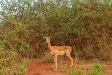 Impala Female in the Wilderness - 180695947