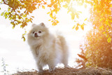 funny dog in the spring. Spitz smiling. - 180702970