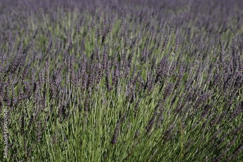 Tuinposter Lavendel provence