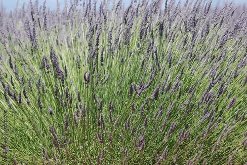 Keuken foto achterwand Lavendel provence
