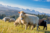 sheep grazing on a mountain meadow - 180716184