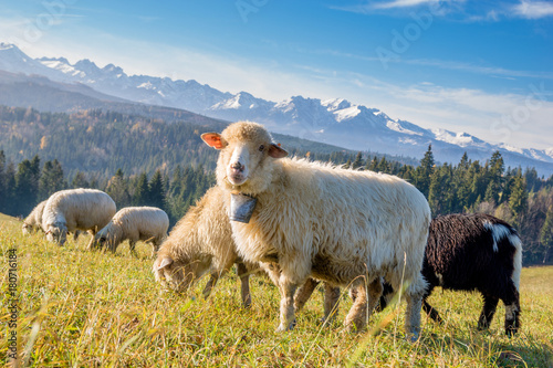 Wall mural sheep grazing on a mountain meadow