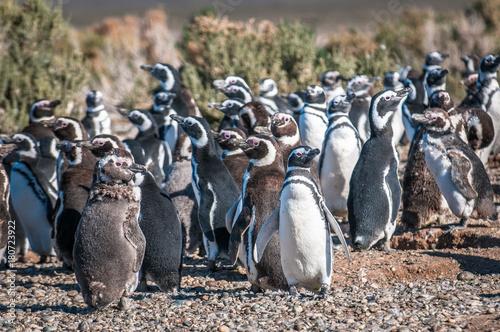 Fotobehang Pinguin Magellanic penguins in Patagonia, Argentina