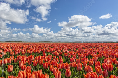 Aluminium Tulpen Tulips in Holland