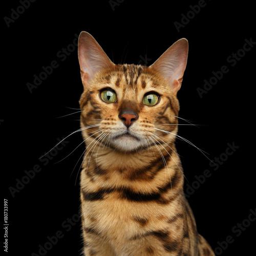 Portret Bengalia kot z Ciekawą twarzą na odosobnionym Czarnym tle, frontowy widok