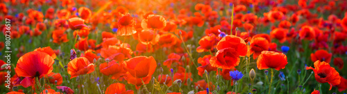 Fotobehang Rood Poppy meadow in the light of the setting sun