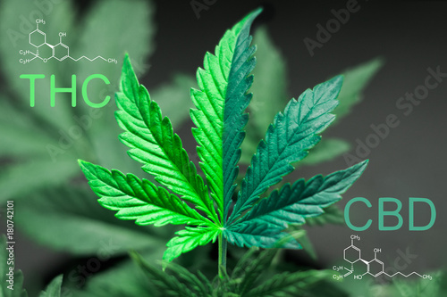 A beautiful sheet of cannabis marijuana in the defocus with the image of the formula THC and CBD