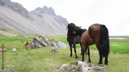 Icelandic horses stay near mountains