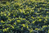 Soybean crop, Glycine max - 180746564