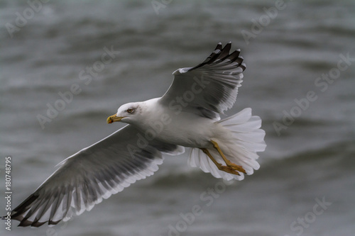 yellow-legged gull Poster