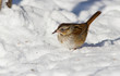 lincoln sparrow in winter