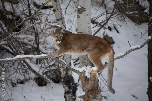 Fotobehang Donkergrijs Mountain Lion