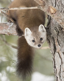 Pine marten (Martes americana) rests on a snow covered branch in Algonquin Park in winter - 180771185