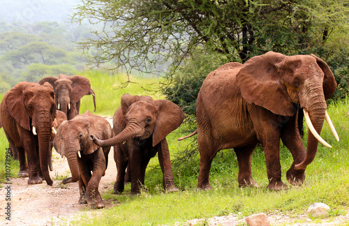 Group of elephants in Tangariro NP Poster