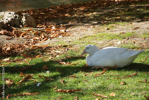 Keuken foto achterwand Madrid A white duck lying near the lake in the Buen Retiro Park in autumn in Madrid, Spain