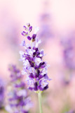 Lavender flowers. - 180787780