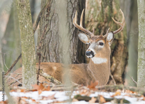 Poster Mature and large whitetail buck
