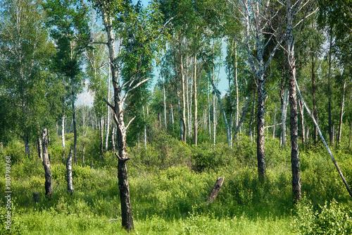 Plexiglas Berkenbos Beautiful landscape summer birchwood