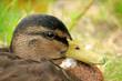 A female duck, closeup