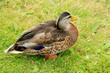 Female duck in grass