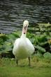 A single swan